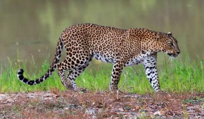 Léopard au Yala National Park