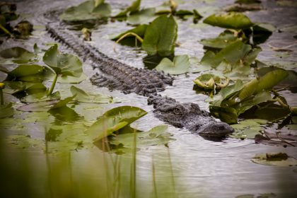 Alligator dans le parc national des Everglades en Floride - USA