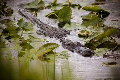 Alligator dans le parc national des Everglades en Floride - USA
