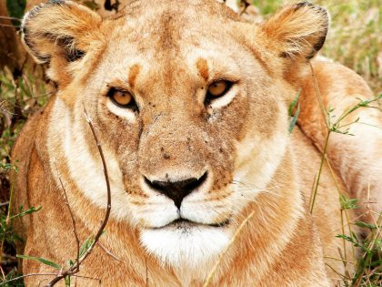 Lionne dans le Masai Mara